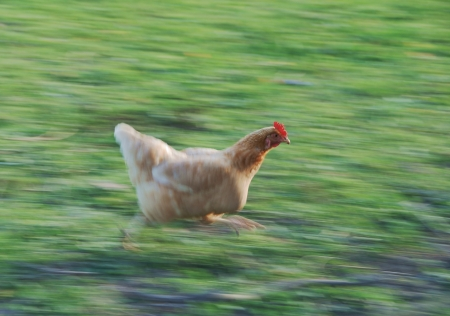 Chicken_February_2009-1